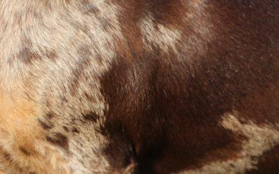 Tigerteckel