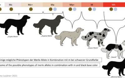 Heterozygote Merle-Phänotypen